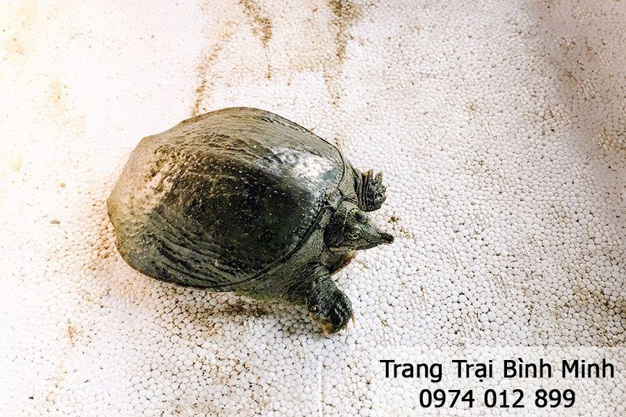 Trang trại Bình Minh - Chuyên cung cấp, mua bán ba ba giống, chuyển giao kỹ thuật chăn nuôi hiệu quả