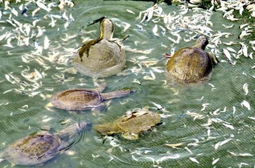 Cá mè, tôm băm nhỏ là những thức ăn phù hợp với ba ba nhưng cần chú ý làm sạch cẩn thận